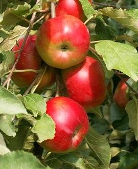 схема обрезки яблони - Только схемы.